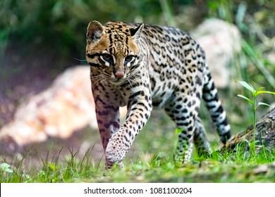 The ocelot or Leopardus pardalis