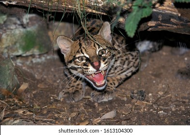 OCELOT leopardus pardalis, ADULT GROWLING