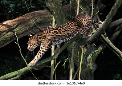 OCELOT leopardus pardalis, ADULT WALKING ON BRANCHES