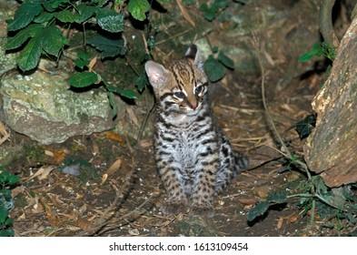 OCELOT leopardus pardalis, CUB SITTING