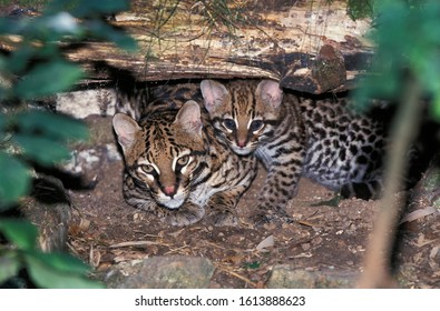 Ocelot, leopardus pardalis, Female with Cub