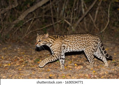 Ocelot (Leopardus pardalis) at night, Pantanal, Mato Grosso, Brazil