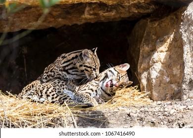 Ocelot, Leopardus pardalis, Pair of ocelot hugging each other