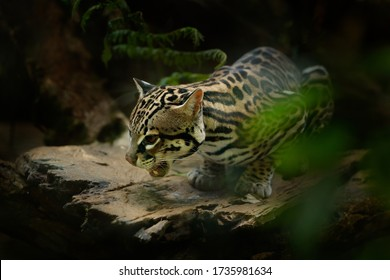 Ocelot, nice cat, sitting on the branch in the green tropical forest. Detail portrait cat margay, Leopardus wiedii, in tropical forest. Animal in the nature habitat. Wildlife in Costa Rica.