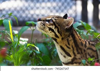 Ocelot resting in a garden. Captive animal, feline, zoo, cat.