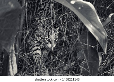 Ocelot running through the grass in black and white