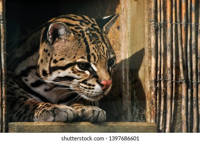 The ocelot is small cat living in south america. Female is waiting for male.
