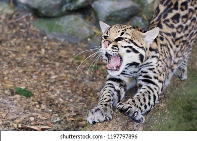 Ocelot, small cat with mouth wide open in a roar