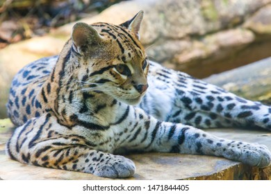 The ocelot is a small wild cat native to the southwestern United States, Mexico, Central and South America.  Its fur is marked with solid black spots, streaks and stripes.