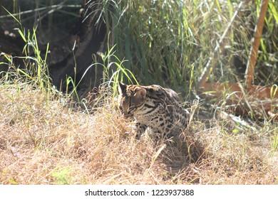 An ocelot stalking prey in the grass
