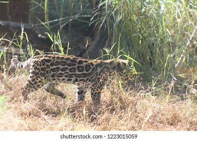 An ocelot stalking prey in grass during the day
