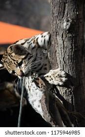 Ocelot wild cat
