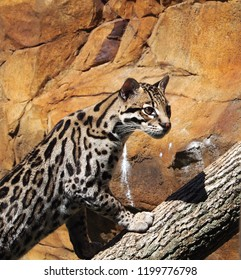 Ocelot at the zoo