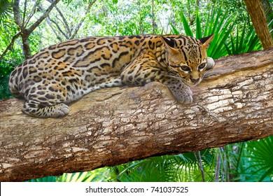 Ocelote Leopardus pardalis Ocelot cat in central america Jungle photomount