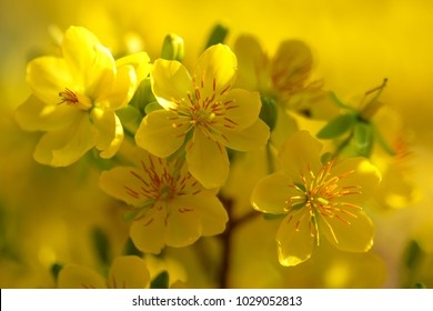 Ochna integerrima flower. Royalty high quality free stock footage of Ochnaceae. Ochna integerrima is symbol of Vietnamese traditional lunar New Year together with peach flower. Mai flower in Vietnames