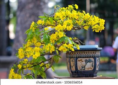 Ochna integerrima flower. Royalty high quality free stock image of Ochnaceae. Ochna integerrima is symbol of Vietnamese traditional lunar New Year together with peach flower. Mai flower in Vietnames