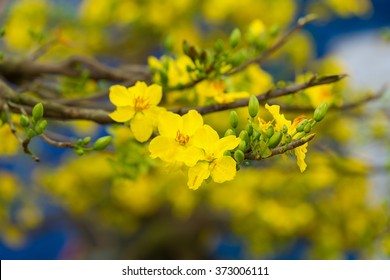 Ochna integerrima flower, the symbol of Vietnamese traditional lunar New Year together with peach flower. Mai flower in Vietnamese