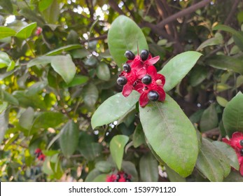 Ochna serrulata or also known as mickey mouse flower is a flowering plant species originating from Africa including genus Ochna plant