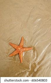 Ochre Sea Star on the sand, Cannon Beach, Oregon, USA