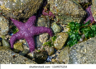 Ochre starfish (Pisaster ochraceus) also known as purple sea star at Whytecliff park, British Columbia, Canada