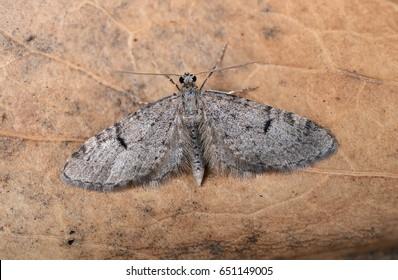 Ochreous Pug moth, Eupithecia indigata.