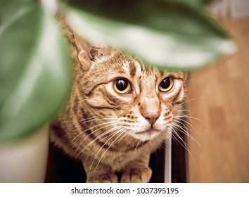 Ocicat adult cat hiding behind leaves