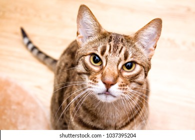 Ocicat adult cat lookin in lens