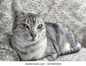 Ocicat cat on sofa gazing into distance in black and white with space for text