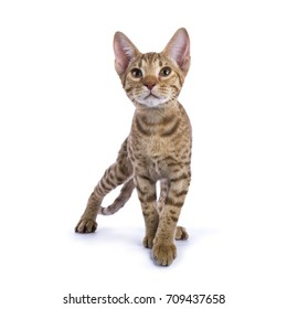 Ocicat kitten in hunting pose isolated on white looking up