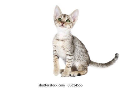 Ocicat kitten on a white background. Studio shot.