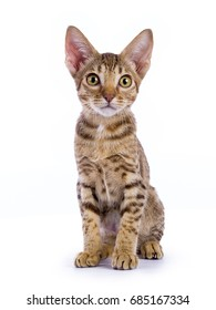 Ocicat kitten sitting isolated on white background
