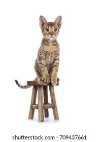 Ocicat kitten sitting on wooden stool nisolated on white background