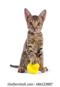 Ocicat kitten sitting with paw on rubber duck isolated on white background