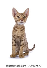 Ocicat kitten sitting straight isolated on white background