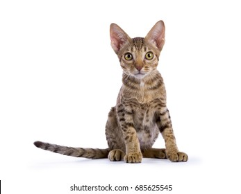 Ocicat kitten sitting with tail to the side isolated on white background