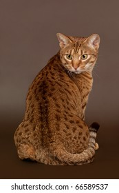 ocicat male cat on dark brown background