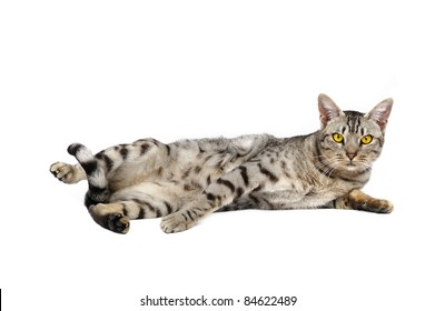 Ocicat male on a white background. Studio shot.