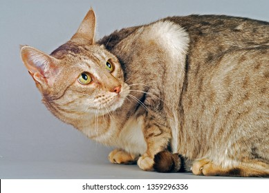Ocicat on grey background