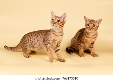 Ocicat spotted cat