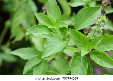 Ocimum × africanum / Ocimum × citriodorum / Ocimum basilicum (Hoary Basil, Lemon Basil, Thai Lemon Basil) ; Showing light green of soft shoot, delicate and pungent odor. Top view, natural sunlight.
