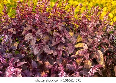 Ocimum, Purple basil. Red bright rubin basil Ocimum basilicum Lamiaceae family