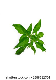 Ocimum sanctum (Ocimum tenuiflorum L.), commonly known as holy basil or tulsi, is an aromatic perennial plant in the family Lamiaceae, isolated on white, have a medicine properties