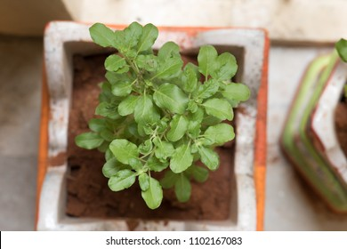 Ocimum tenuiflorum, commonly known as holy basil, tulasi or tulsi, is an aromatic perennial plant in the family Lamiaceae. It is native to the Indian subcontinent