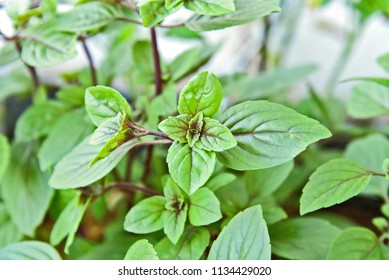 Ocimum tenuiflorum or commonly known as holy basil, tulasi tree in the garden summer season