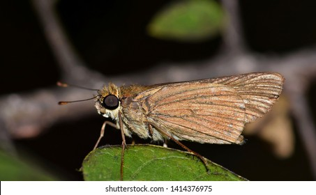 Ocola Skipper Butterfly (Panoquina ocola) roosting on a leaf at night in Houston, TX.
