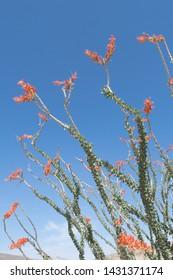 Ocotillo, Anza Borrego Desert, California