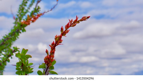 Ocotillo blossom with soft clouds in background