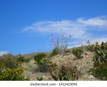 Ocotillo cactus against the sky