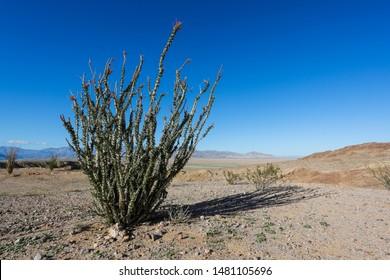 An Ocotillo cactus in the Anza-Borrego desert of Southern California.