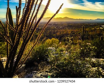 Ocotillo Cactus, Fall in Tucson Desert, Catalina Mountains at Sunset